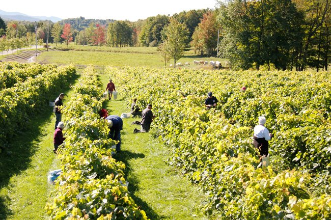Fall Harvest at Vignoble Domaine Bresee near Montreal.