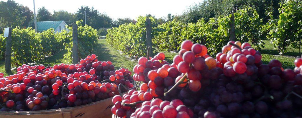 Grapes at Vignoble Val Caudalies near Montreal.