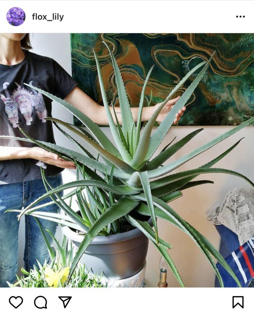houseplants example - aloe vera