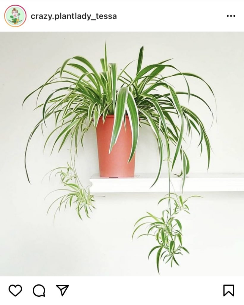 houseplants - air plant